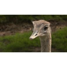 ostrich oil 50ml